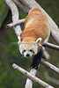 Tenzing coming down from the treetops. (Red Panda)