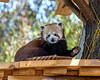 """Hi there!""  (Red Panda, Tenzing)"
