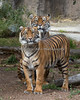 """She's big, but she's still my baby!"" (Sumatran Tigers, Leanne (in back) & Jillian (in front)."
