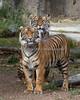 """""""She's big, but she's still my baby!"""" (Sumatran Tigers, Leanne (in back) & Jillian (in front)."""