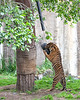 Jillian pulling on her tire toy. (Sumatran Tiger)