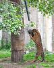 Jillian pulling on her tire toy. (Sumatran Tiger)