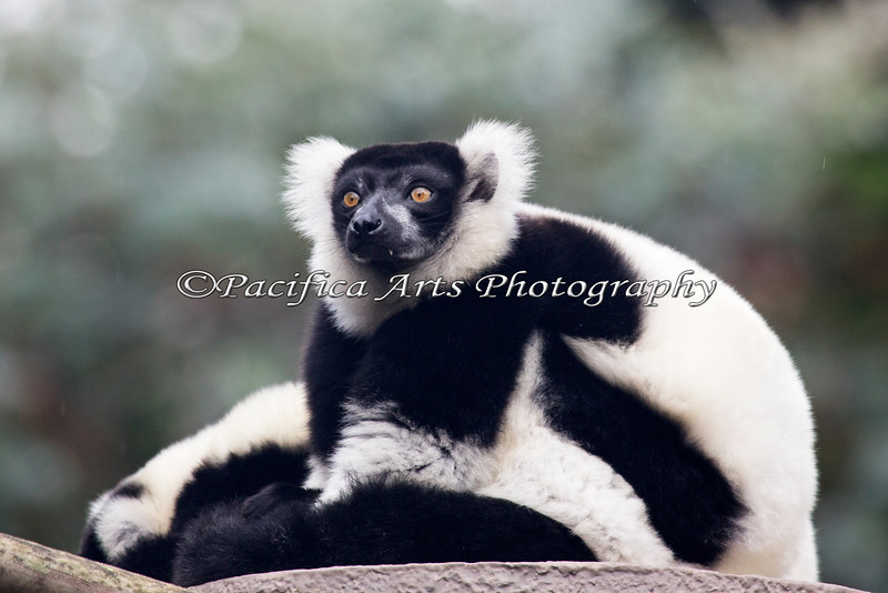 Black & White Ruffed Lemur - portrait