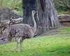 """Shades of Gray""    (Ostrich)"
