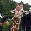 Nomnomnom!  (Reticulated Giraffe)