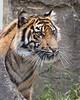 Jillian at 16 months. (Sumatran Tiger)