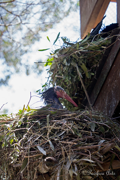 Waldrapp Ibis incubating eggs