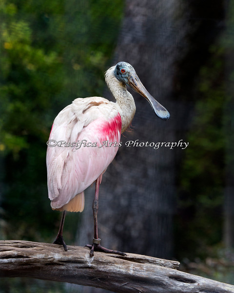 Roseate Spoonbill at the Puente al Sur exhibit.