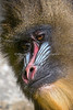 A close-up of one of the female Mandrills