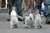 These foursome are fast marchers!  (Magellanic Penguins at March of the Penguins event)