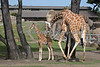 Reticulated Giraffe, Barbro & 2 month old baby calf