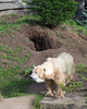 Hole dug by Uulu.  Great job for a 34 year old Polar Bear!