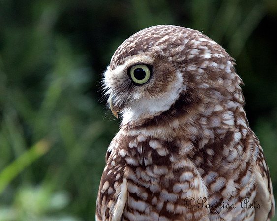 My!  What big eyes you have!  (Nigel, a Burrowing Owl)