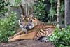 Jillian a young Sumatran Tiger. (abt. 16 months)