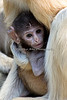 Patas Monkeys - Winnie and her 2 week old baby girl