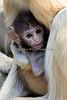Patas Monkeys - Winnie and her 2 week old baby girl