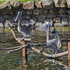Two of the three rescued Brown Pelicans at Eagle Island.  They love to sit on their custom made perches.