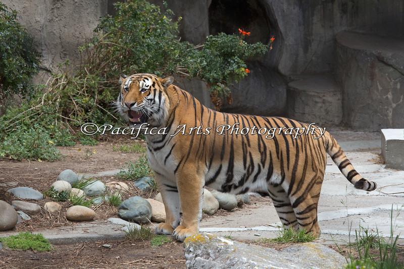 He's a BIG boy!  (Siberian Tiger)
