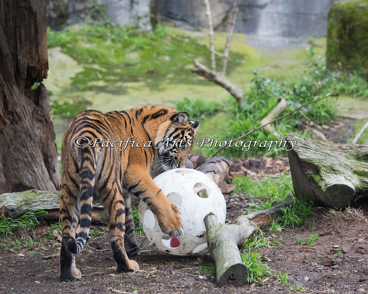 Jillian playing with her enrichment ball (Sumatran Tiger)