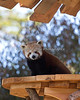 A view from the treetops!  (Red Panda, Tenzing)