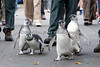 """""""Are you watchin' us?""""  (Magellanic Penguins at the March of the Penguins event)"""