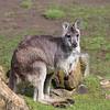 Common Wallaroo (female)