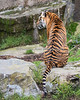 The back of Leanne, a Sumatran Tiger