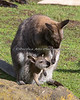 Bennett's Wallaby and her growing joey