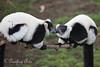 Mwaa!  (Black & White Ruffed Lemurs)