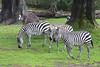 I see stripes!  (Grant's Zebras)