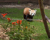 Tenzing, a Red Panda, coming up to see the visitors.