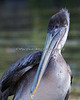 Still a little on the shy side, this is one of the new, rescued Brown Pelicans.  They live near Eagle Island.