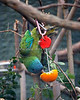 Blue-headed Macaw, climbing down for a snack