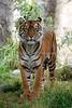 Sumatran Tiger, Leanne.  Always pretty as a picture!