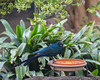 Mealworms are my favorite snack!  (Long-tailed Glossy Starling)