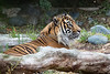 Sumatran Tiger - Larry