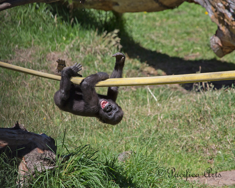 Now here's a happy little gorilla!  She climbs onto the log, jumps on the fire hose, crawls upside down to Grandma Bawang (who's just out of the photo on the right), drops down to the grass, and does it all over again.