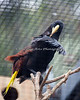 Crested Oropendola doing a little preening.