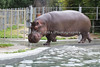 "Here's ""Brian Wilson"" trotting around his pool.  He's pretty light on his feet for being So Big! (Nile Hippopotamus)"