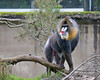 Jessie, a male Mandrill
