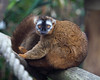 A beautiful Red-fronted Brown Lemur