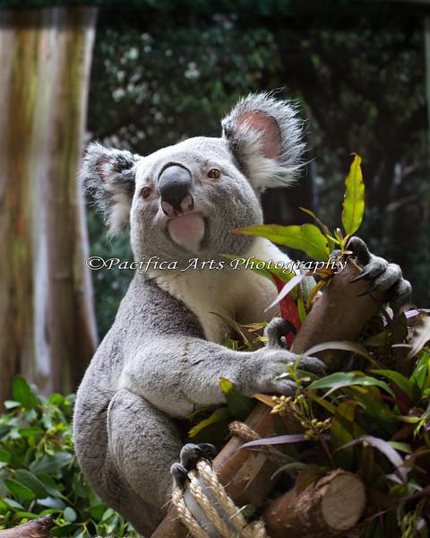 """Here's """"Austin"""", a male Koala.  He's a handsome guy!"""