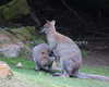 """Ok, lunchtime!""  (Bennett's Wallaby & her not-so-little joey)"