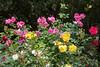 An abundance of beautiful roses near Children's Zoo