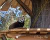 Happy little guy!  (Red Panda, Tenzing)