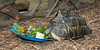 Lunchtime for Tim, the Radiated Tortoise.  He has a great appetite!