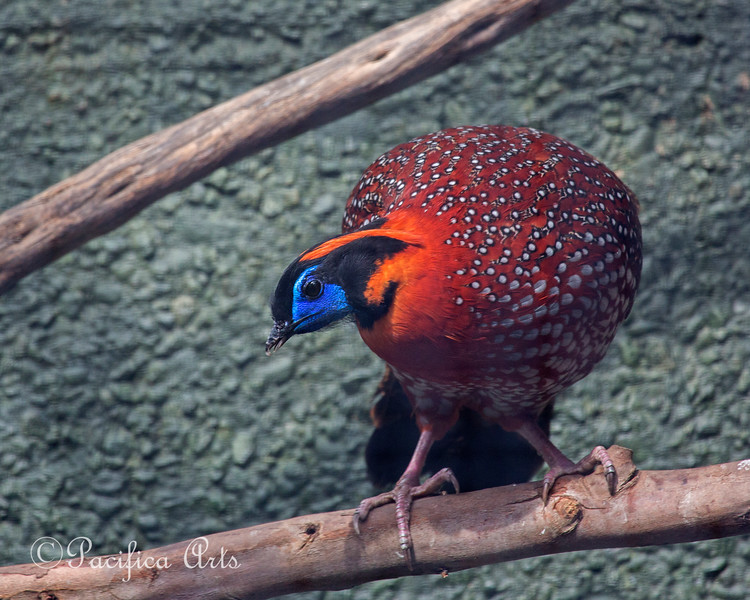 A male Temminck's Tragopan