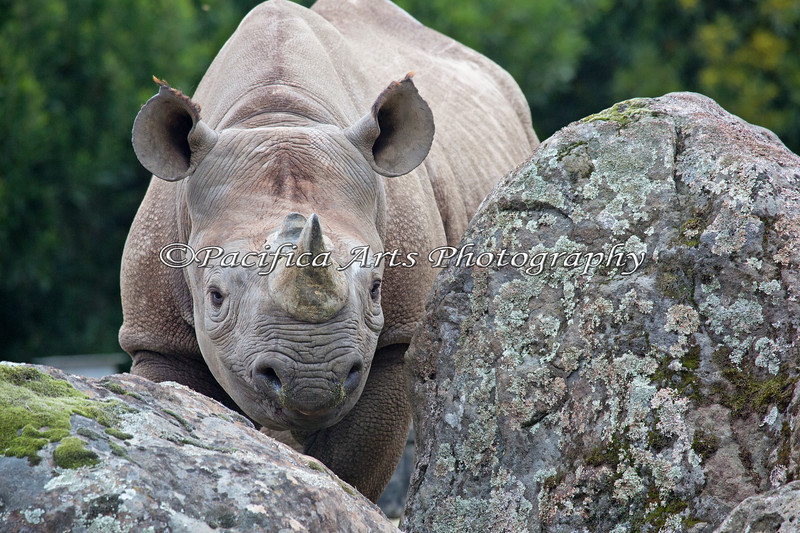 Black Rhinoceros, Boone, looking over the rocks