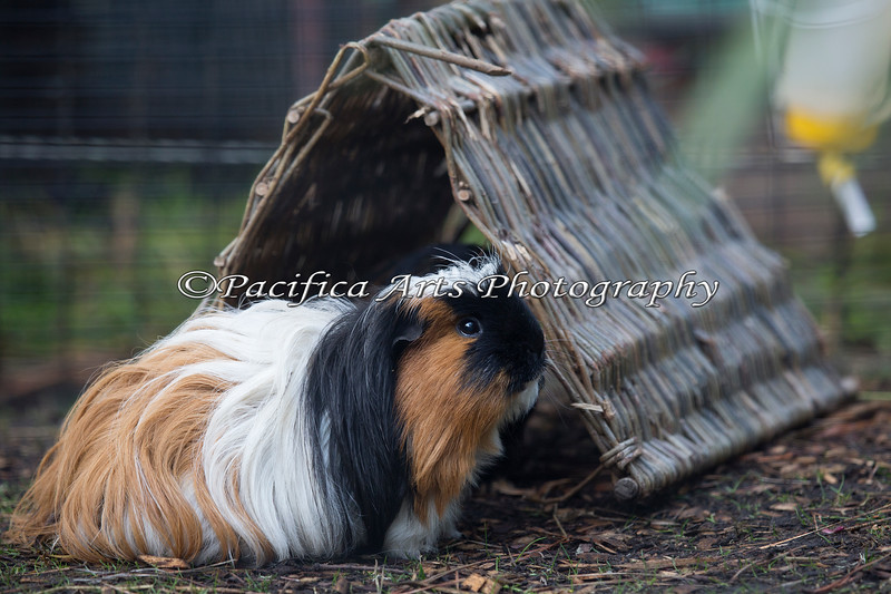 A pretty little Guinea Pig near the Children's Zoo