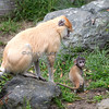 Patas Monkey - Winnie & her baby
